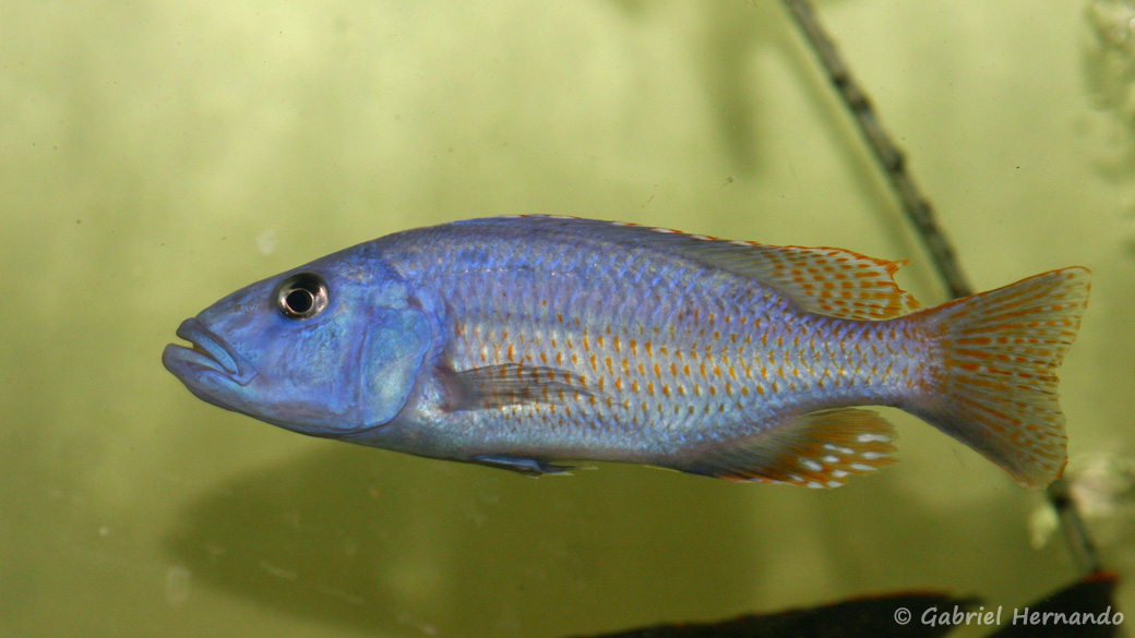 Tyranochromis nigriventer (Aquabeek, Pays-Bas, mars 2011)