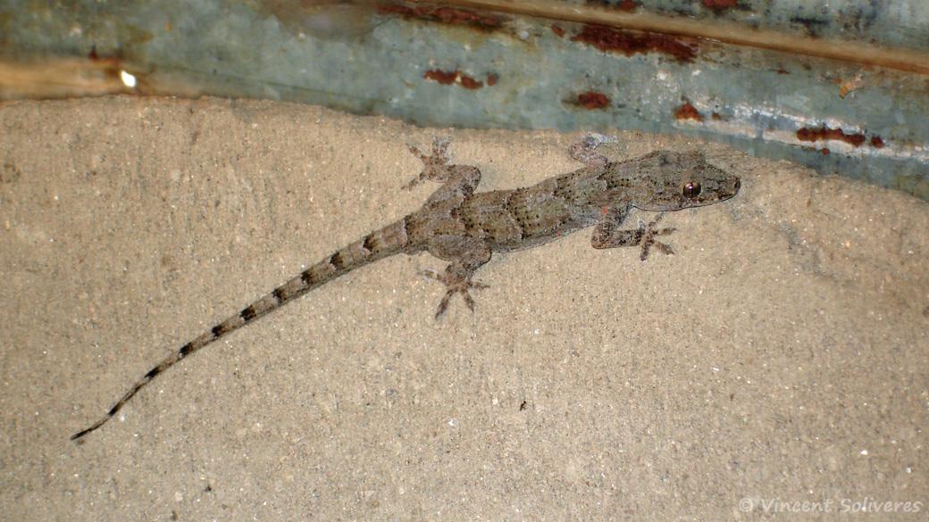 Hemidactylus platycephalus, une espèce de geckos de la famille des Gekkonidae, photographié à Chilumba.