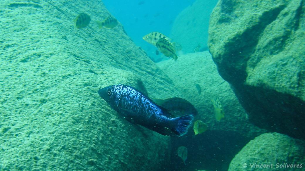 Fossorochromis rostratus, in situ à Masimbwe (Likoma)
